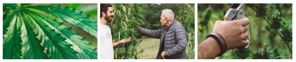 Vendita online di piante di Canapa | Zacà